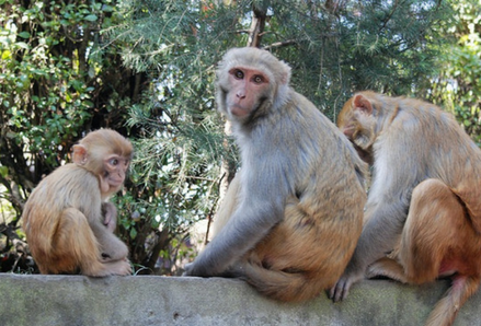 Three monkeys sitting on a wall in Nepal. Photo by Tullia Marcolongo.
