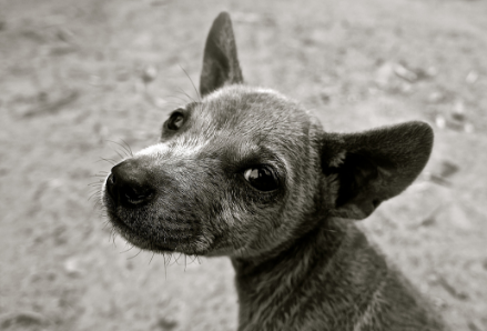 Black and white image of a dog looking at the viewer.